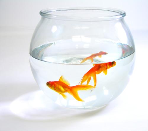 guldfisk1